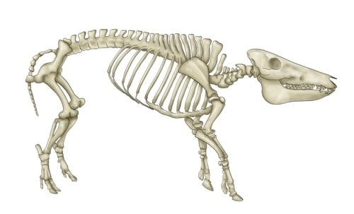Stock photo of a pig skeleton from Shutterstock/miha de