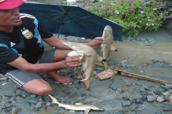 Sharks in Lake Sentani. Source: Jakarta Post, 20190319
