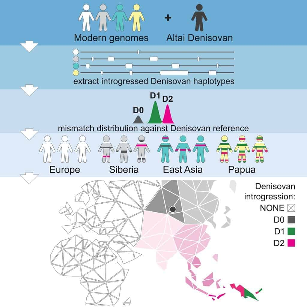 Graphical Abstract from Multiple Deeply Divergent Denisovan Ancestries in Papuans by Jacobs et al., https://doi.org/10.1016/j.cell.2019.02.035