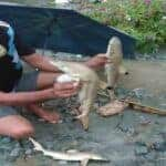 Baby sharks found in Sentani after deadly flood